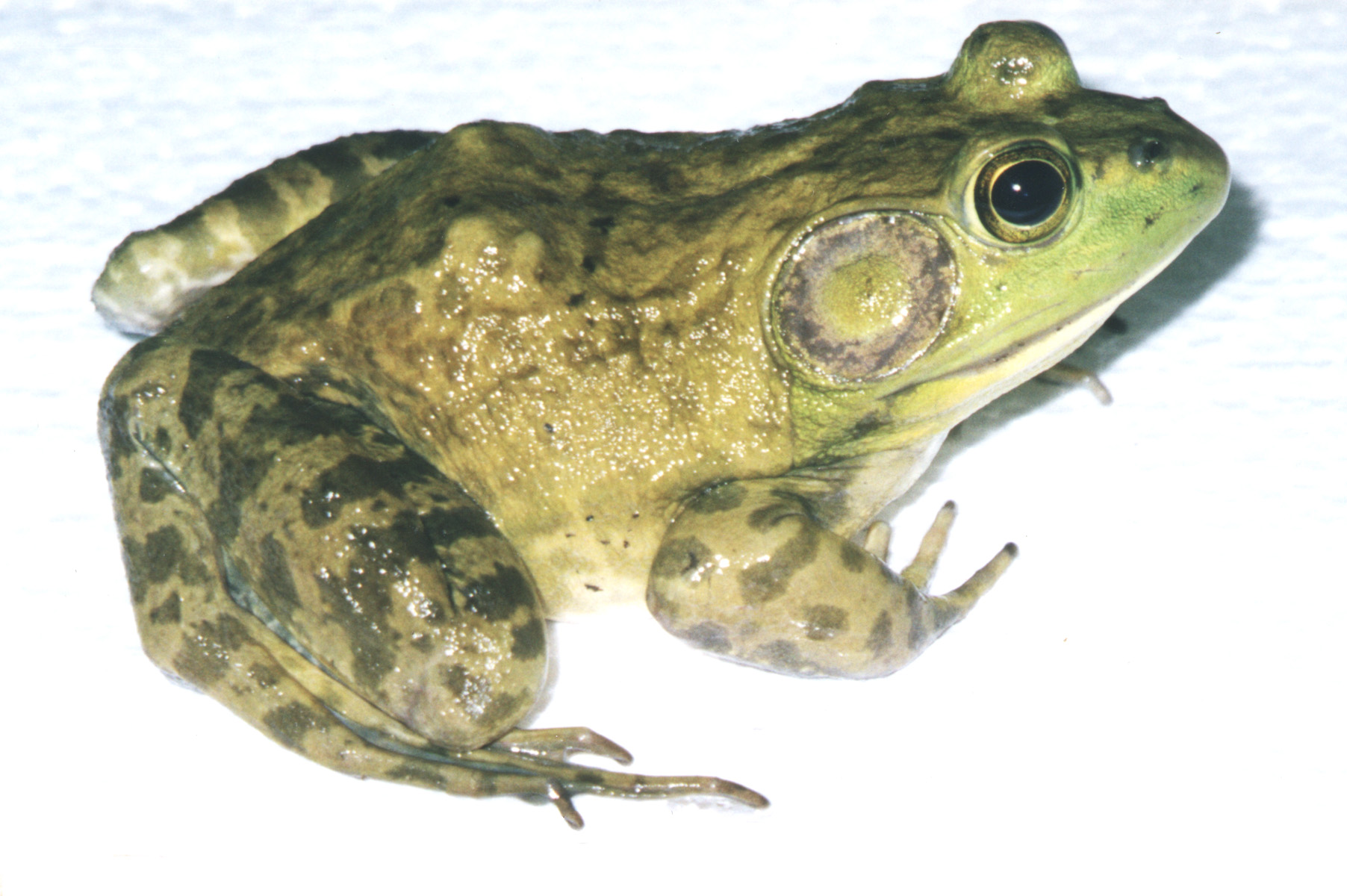 how to clean a bullfrog