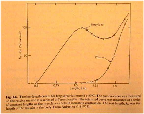 explain the length tension relationship