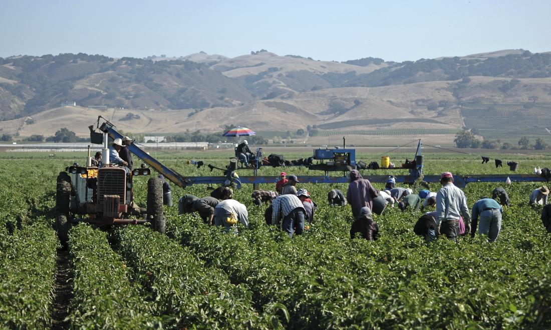Migrant farm workers stoop over rows in a vast field