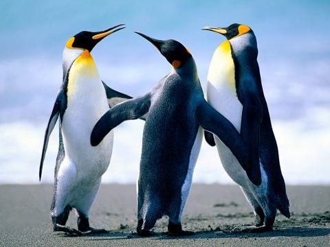 Penguins gathering