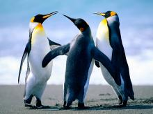 Penguins gathering