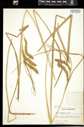 Carex rostrata from Providence, collected in 1947