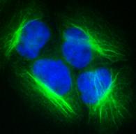 Immunofluorescence MPC Image